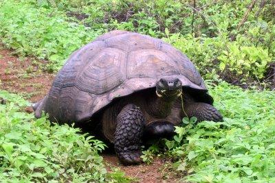 wildeschildkröte