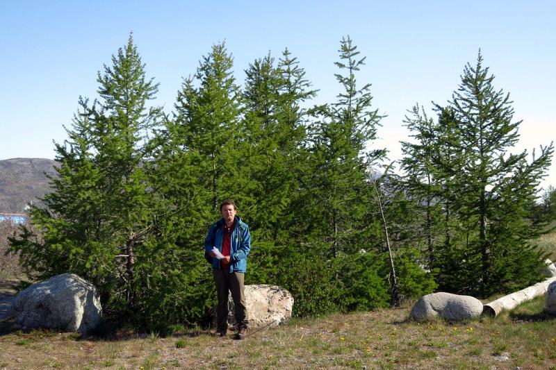höchste bäume grönlands