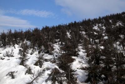 leidende bäume in zao onsen