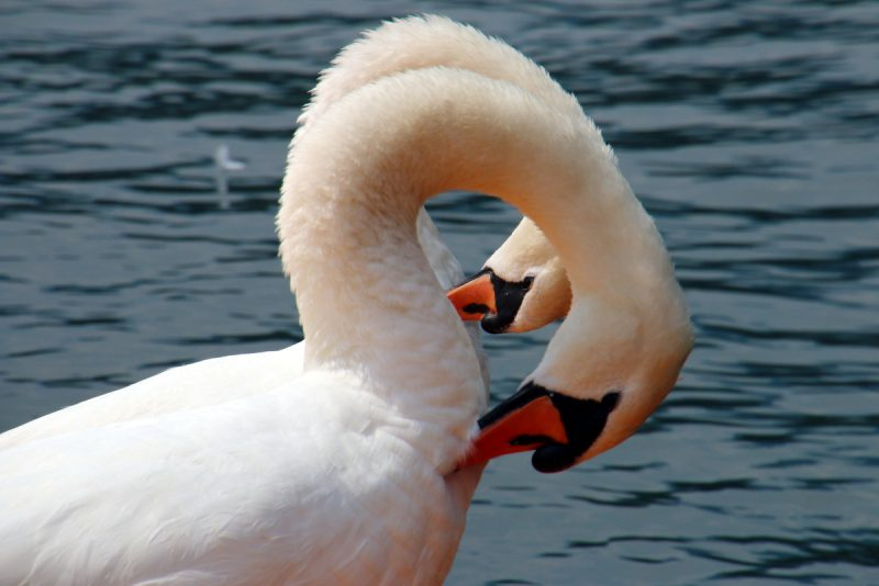 reflektionsschwan