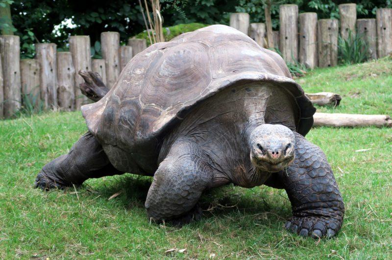 grosse schildkröte