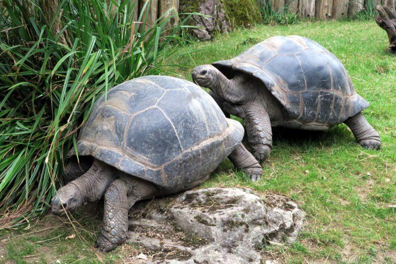 schildkrötenfangis