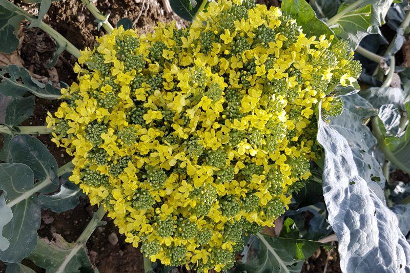blumenbroccoli