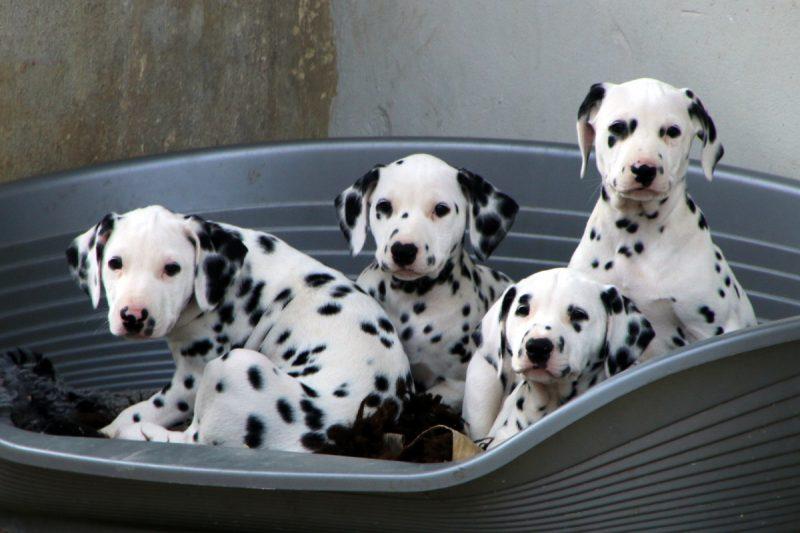 baby dalmatiner