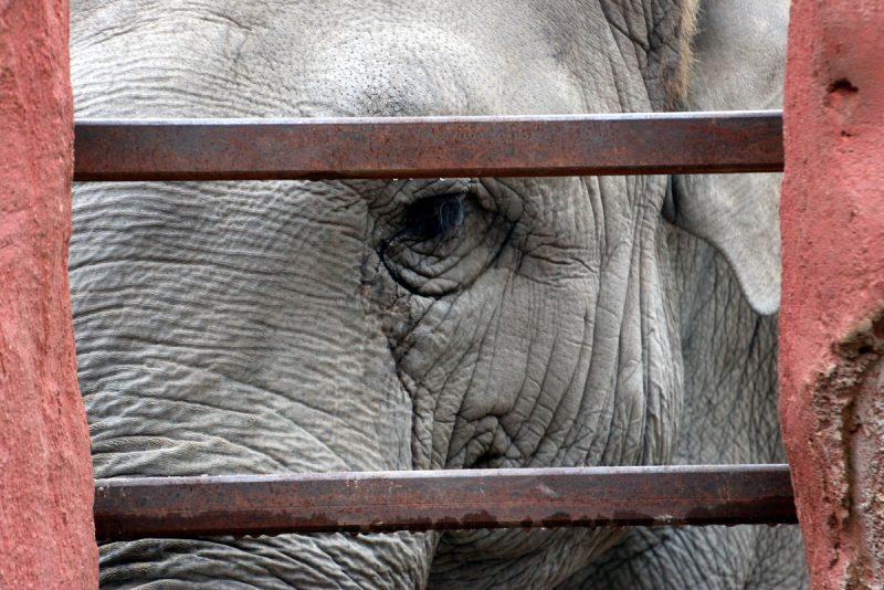 elefantt